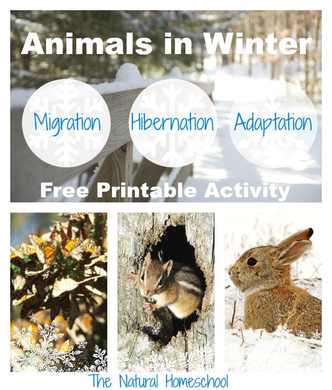 animals in winter migration hibernation and adaptation free printable homeschool freebies. Black Bedroom Furniture Sets. Home Design Ideas
